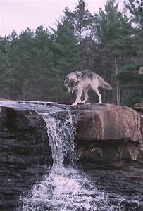 Wolf, At, Waterfall, Stock, Image, Image, Of, River, Gray