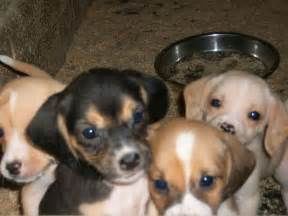 Pug and Beagle Mix Puppies