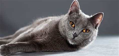 chartreux  smart cat   fixed smile