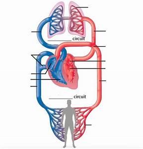 Human Circulatory System Diagram Unlabeled