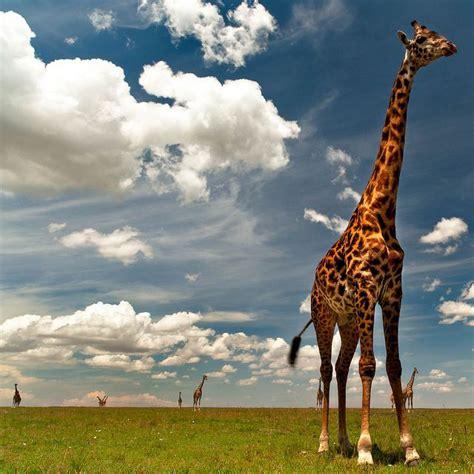 Masai Mara Kenya Migration