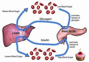 Pancreas Feedback Loop Homeostasis