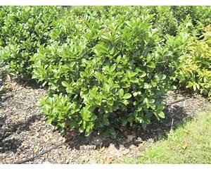 Immergrüne Pflanzen Sichtschutz : immergr ne pflanzen sichtschutz ~ Michelbontemps.com Haus und Dekorationen