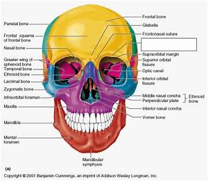 Skull Bones  U0026 Features - Anatomy With Mr  Mraz At Gibson Southern High School