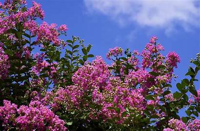Lilac Wallpapers Desktop Backgrounds Sky Background Bush