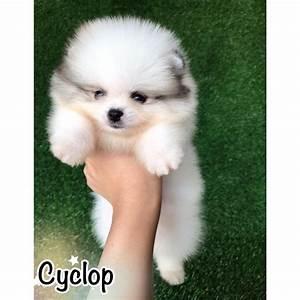 Teacup Pomeranian Tan | www.pixshark.com - Images ...