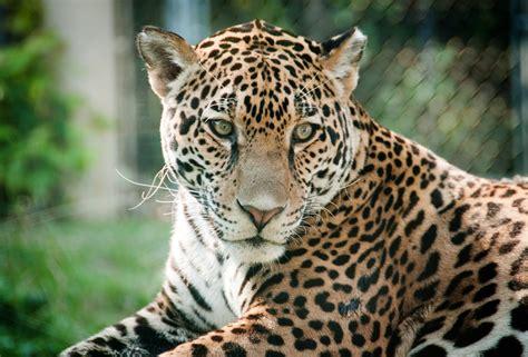 File:Jaguar, Alert (4877693526).jpg - Wikimedia Commons