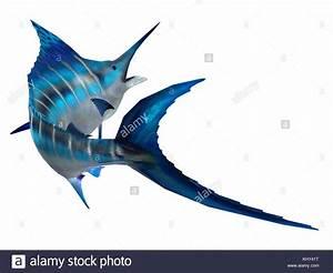 Queue De Poisson Voiture : queue de poisson marlin le marlin bleu de l 39 atlantique est le plus grand des poissons osseux ~ Maxctalentgroup.com Avis de Voitures