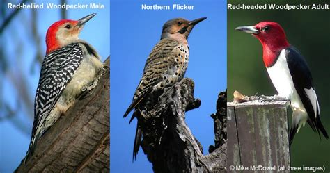 image gallery identifying woodpeckers