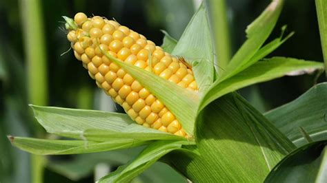 Experts list challenges to aflatoxin elimination | The ...