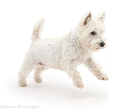 The official twitter page of betty white. Dog: Westie leaping across photo WP27650