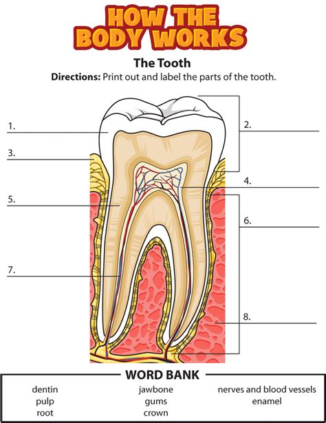 Diagram Of Part Of Human by Label The Parts Of A Tooth Homeschool Science