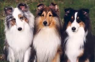 faq s shetland sheepdog club of victoria rescue service