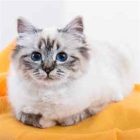 continua la rassegna sulle razze  gatti che piu