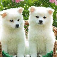 American Dog Eskimo Cute Puppies