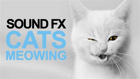 Cats Meowing  Sound Effect [high Quality] Youtube