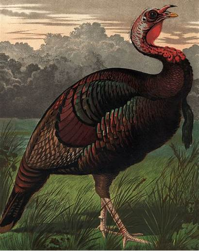 Ancient Turkeys Turkey Were Afterlife Reared Companions