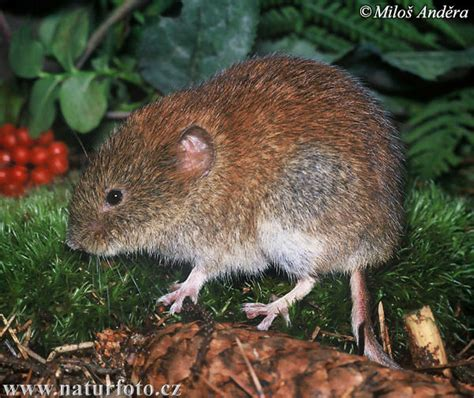 what is a vole bank vole photos bank vole images nature wildlife pictures naturephoto