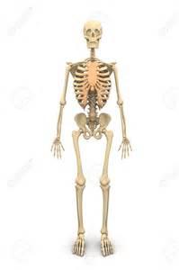 Skeletal System Human Skeleton
