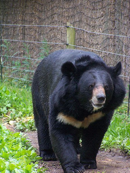 picture    asiatic black bear ursus tibetanus