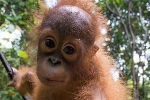 Cute rescued baby orangutan goes back to school to learn ...