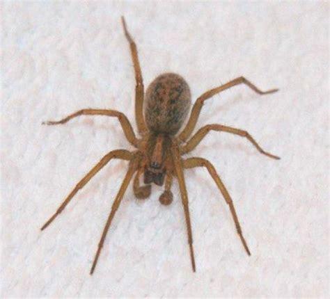 light brown spider how to identify venomous house spiders dengarden