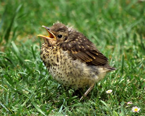 Garden Bird Identification Keen Ornothologists Help