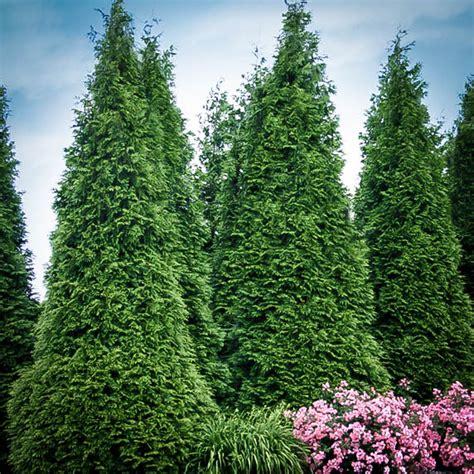 buy thuja green giant thuja trees  sale  tree center