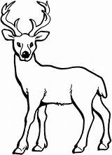 Coloring Deer Pages Tailed Printable Colouring Popular sketch template