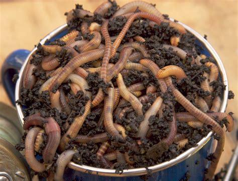 european worms nightcrawler eisenia wiggler hortensis identify euro etc aka