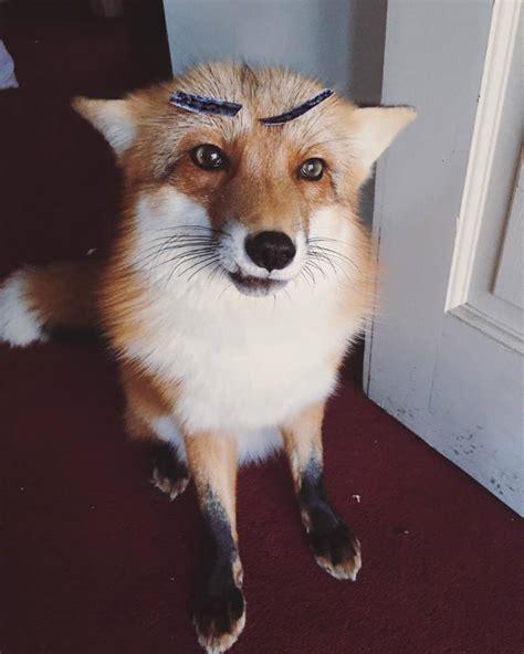 adorable pet fox named juniper will your