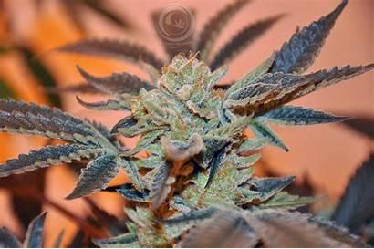 Marijuana Weed Trippy Cannabis Rasta 420 Psychedelic