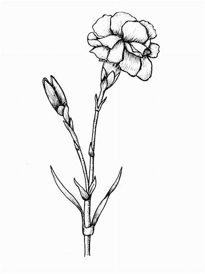 Flower Drawing Tattoo Carnation Drawings Edelweiss Pencil
