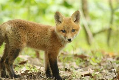 Furry Animals Foxes Fox Wallpapers Mammals Furries