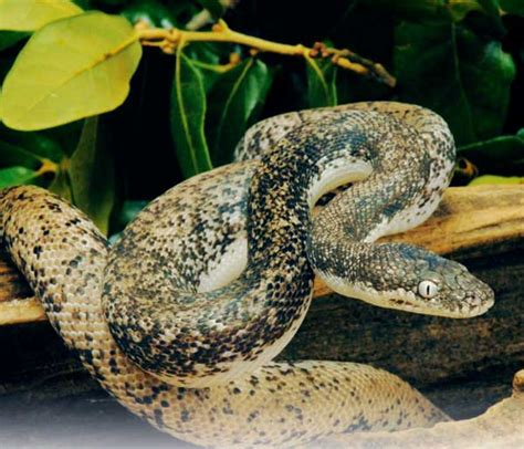 Savu Python - Reptiles Magazine