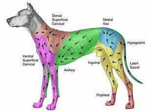 Where Are Canine Lymph Nodes Located