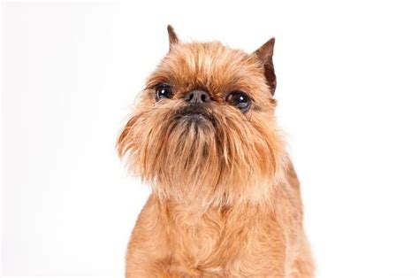 brussels griffon dog breed information brussels