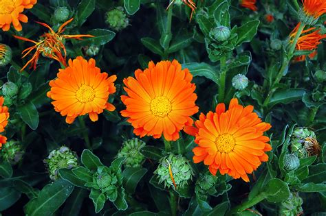 orange flowers beautyful flowers orange flowers nice flowers