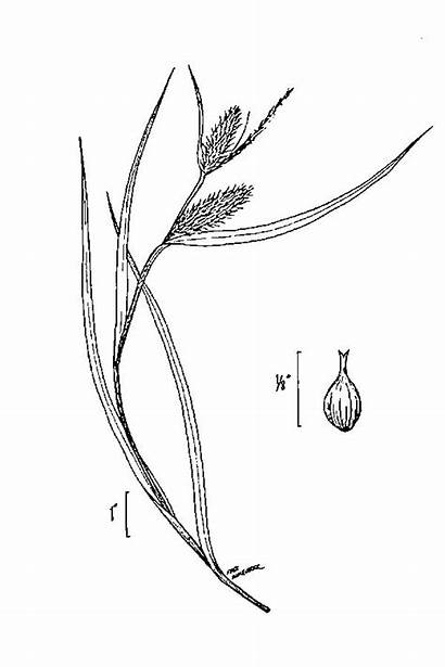 Usda Carex Lurida Sedge Shallow Plants Drawing