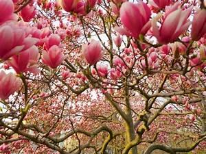 Flammendes Schwert Pflanze : magnolienbaum alles was sie dar ber wissen sollten ~ Frokenaadalensverden.com Haus und Dekorationen