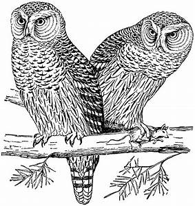 The Hawk or Canada Owl | ClipArt ETC