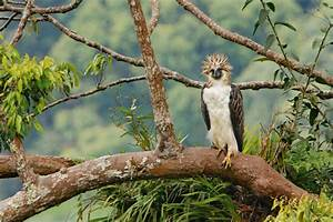The Philippine Eagle - SNSH  Philippine
