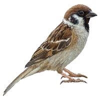 sparrow picture bird learning  kids