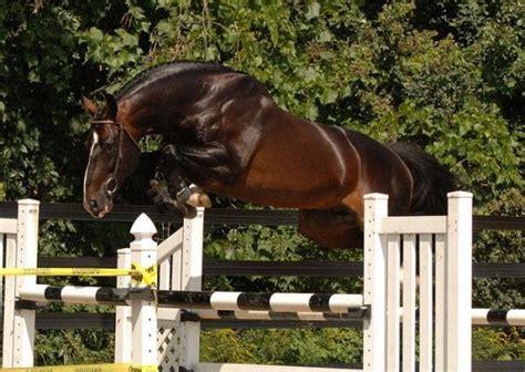 warmblood belgian horses jumping horse stallion warmbloods oldenburg friendly temperament origin tall