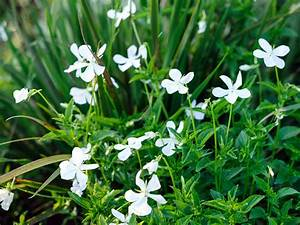 Viola cornuta 'Alba'