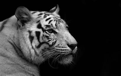 Tiger Computer Wallpapers Looks
