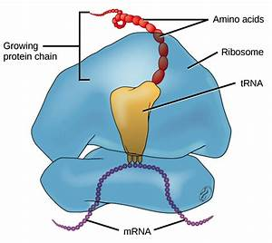 Diagram Of Ribosomes