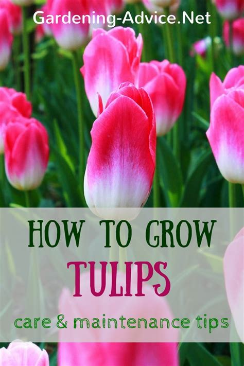 how to care for tulips tulips care and maintenance