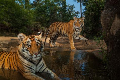 coloriage deux tigres  imprimer