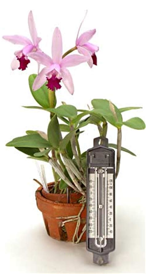 orchids temperature temperature and orchids premium quality orchids grower and exporter from thailand
